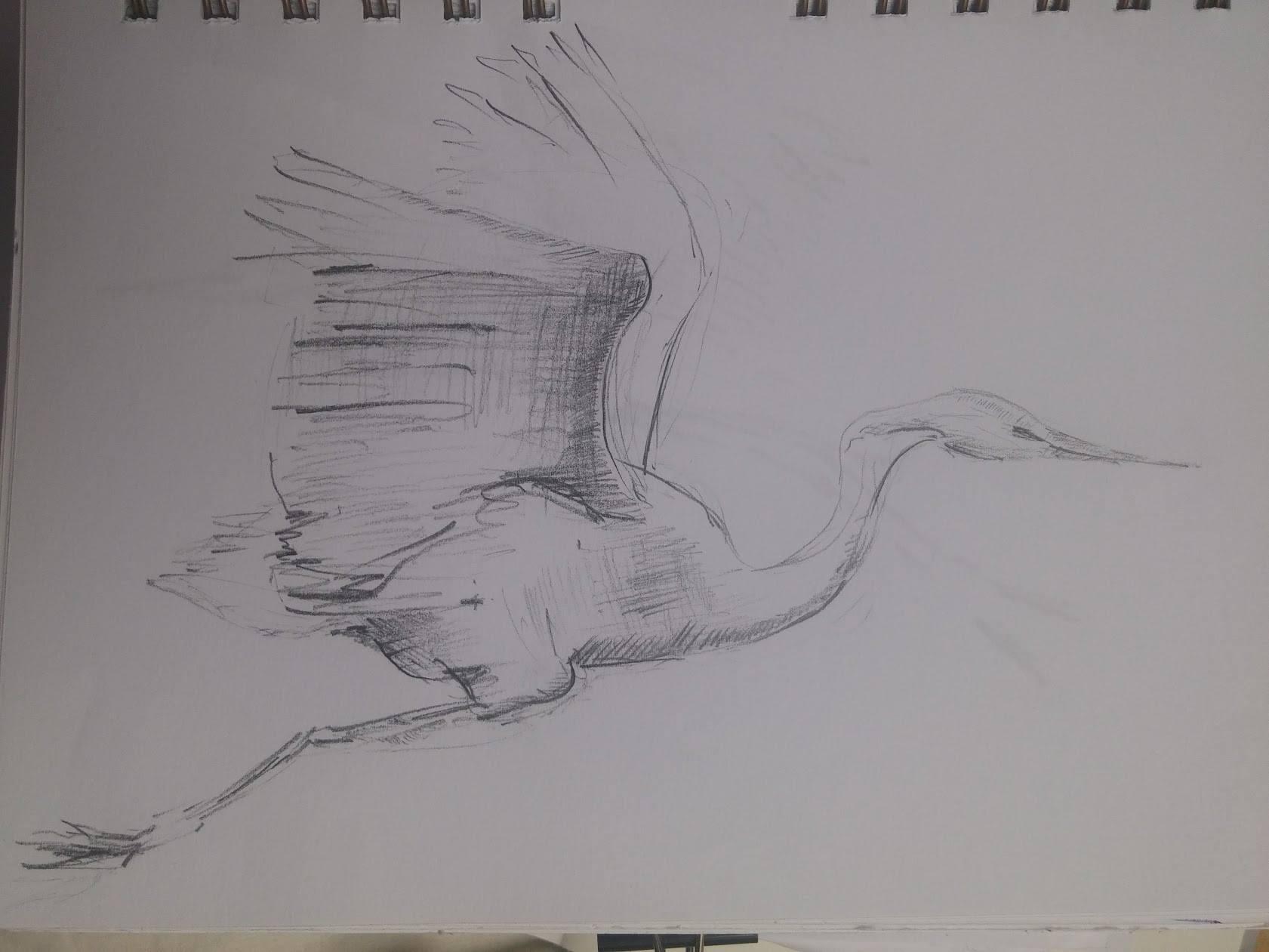 ptak skica ashaadox