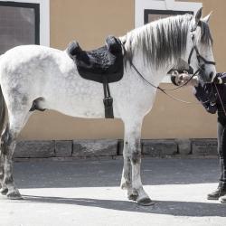 Chiquito PRE stallion